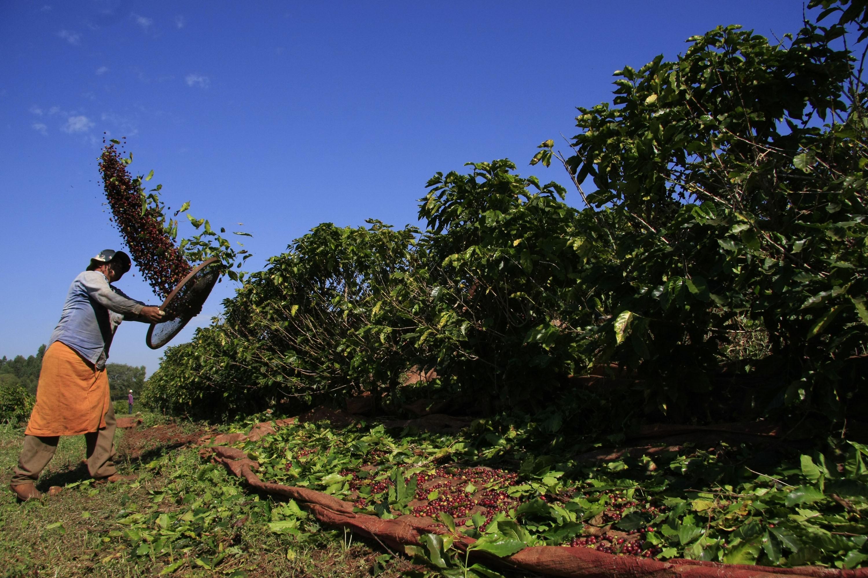 Colheita do café chega a 60% da área no Paraná