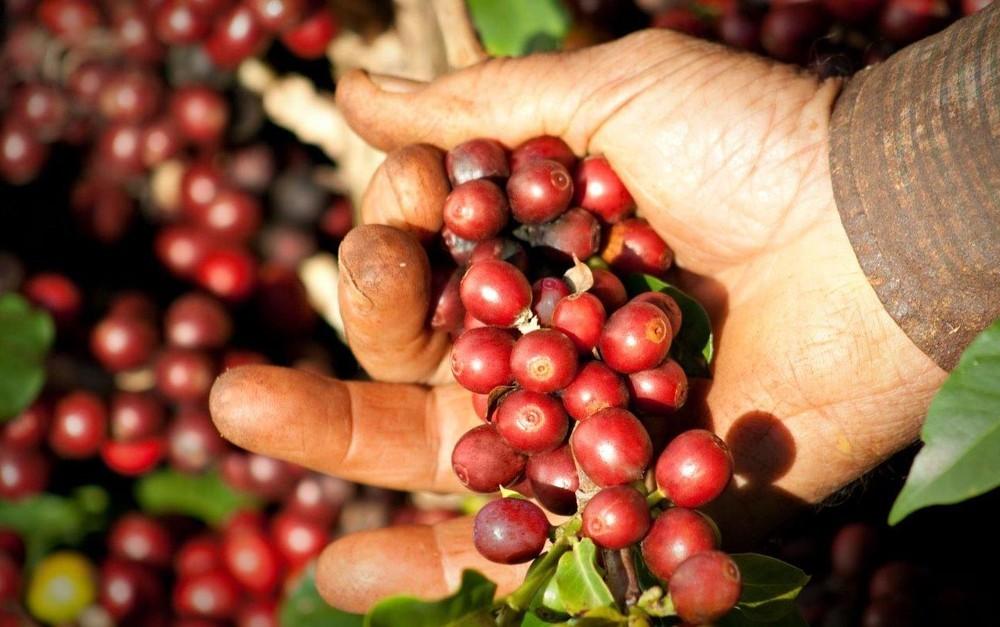 Falta de chuva em 2018 prejudicou safra de café