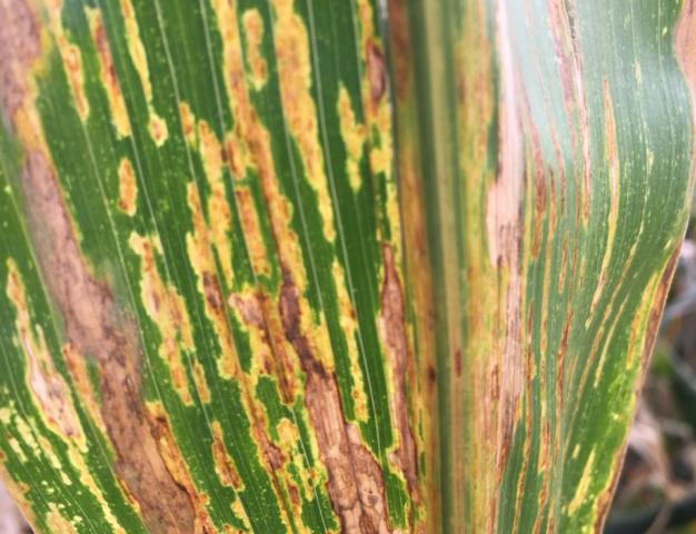 Estria bacteriana do milho é identificada em lavouras do Paraná
