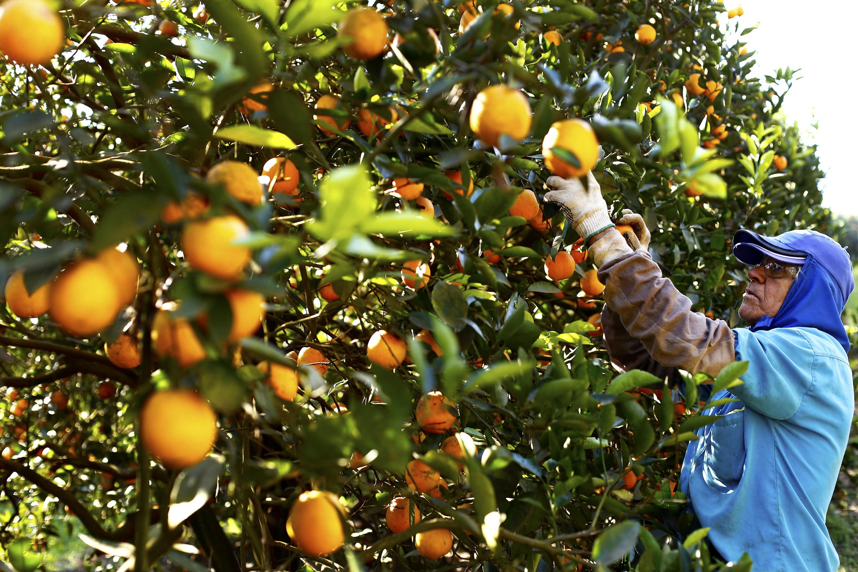 Paraná tem alto índice de produtividade nas culturas de aveia, centeio e laranja