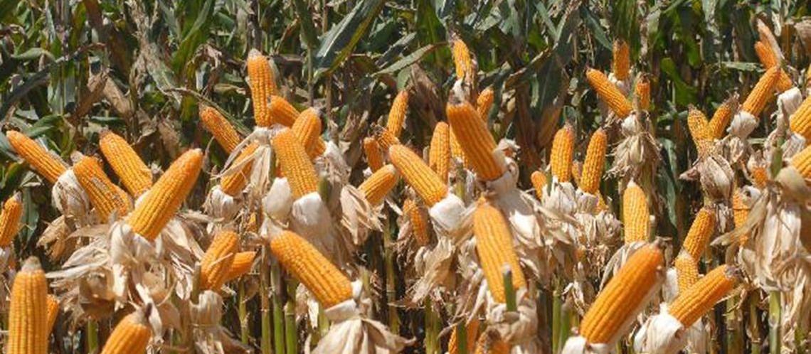 Safra de milho 2019/20 é estimada em mais de 100 milhões de toneladas