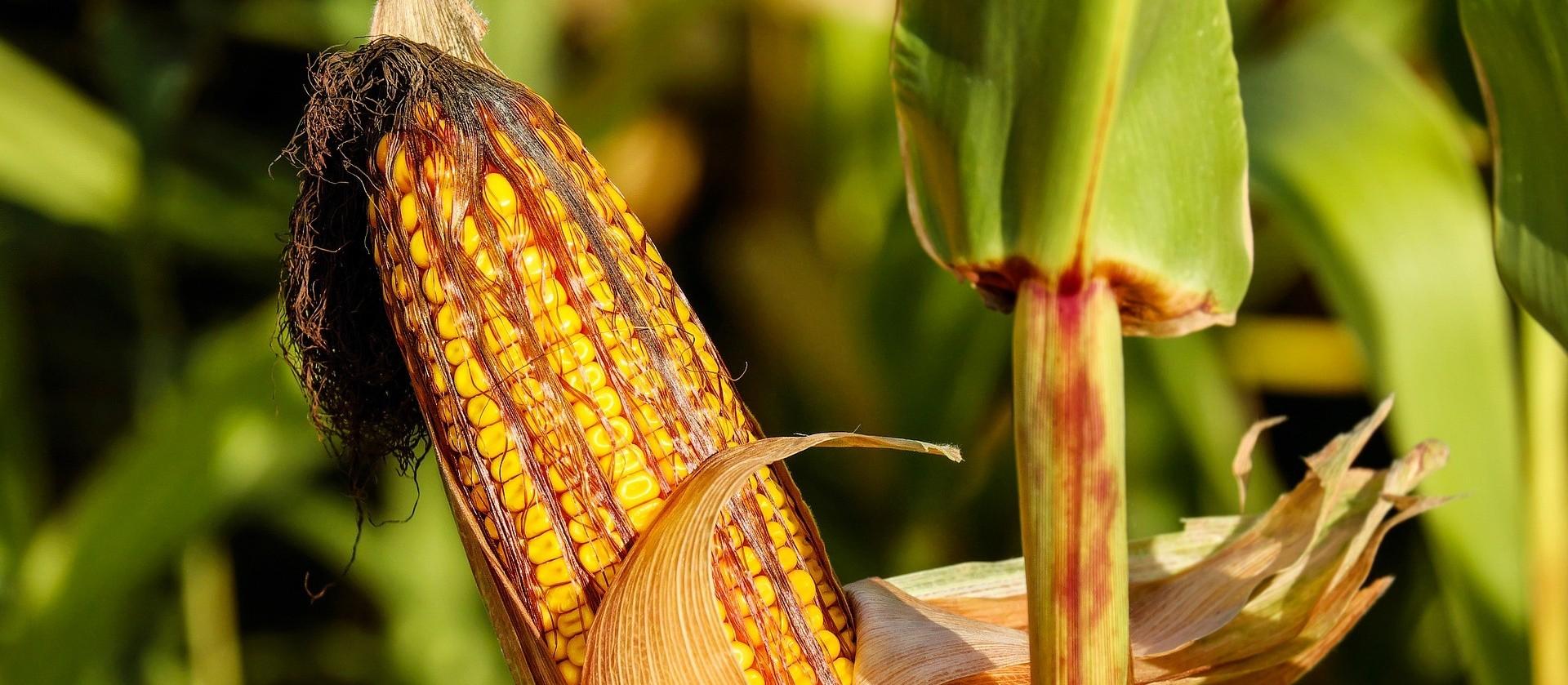 USDA vê safras recorde de milho e soja no Brasil em 2020/21