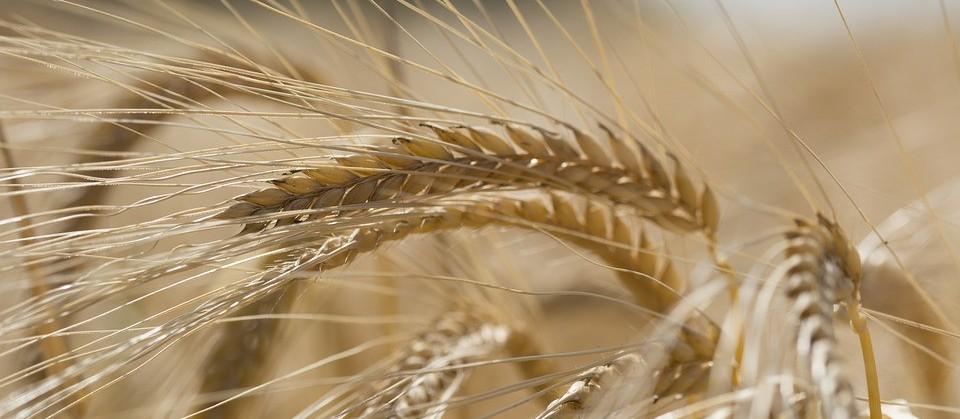 Paraná: Colheita do trigo deve ser encerrada nesta semana, diz Deral