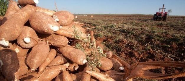Raiz de mandioca custa R$ 330 a tonelada em Umuarama