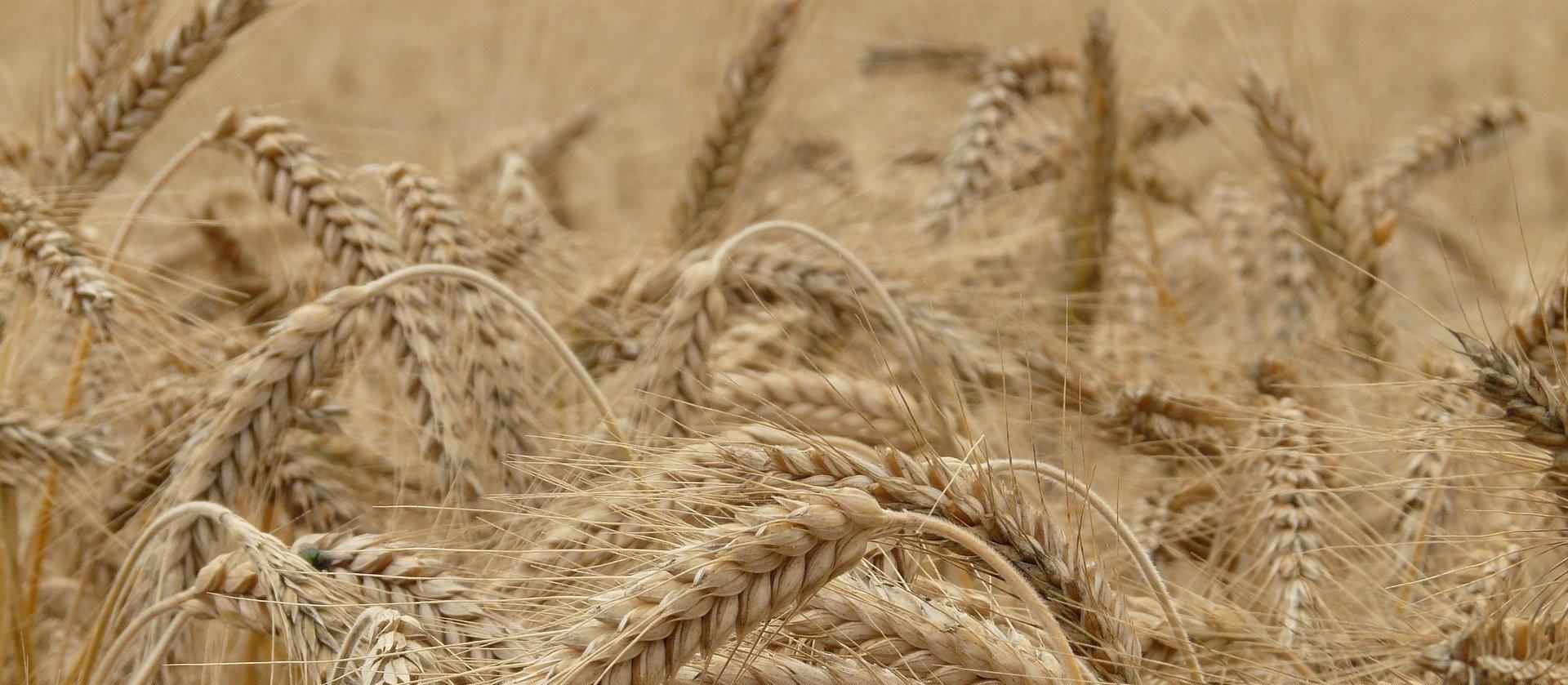 Plantio de trigo atinge 50% da área estimada no Paraná