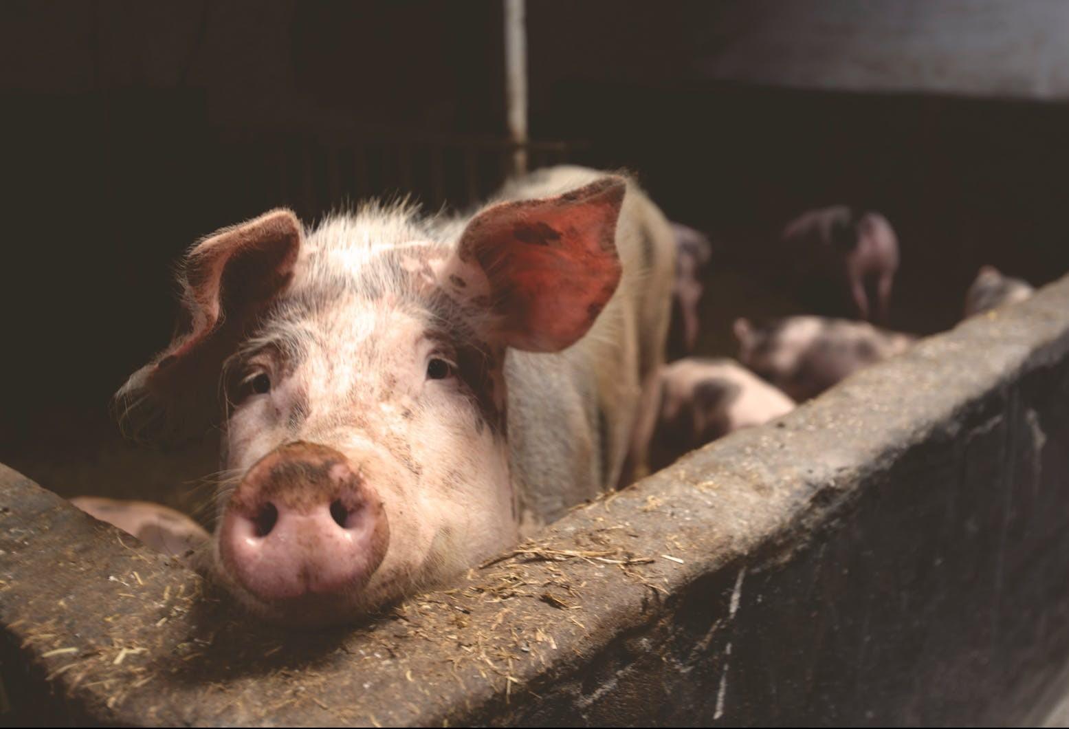 Mais de 2,6 milhões de suínos são eliminados devido a peste suína africana