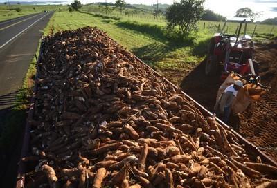 Preço da raiz de mandioca tem queda na região