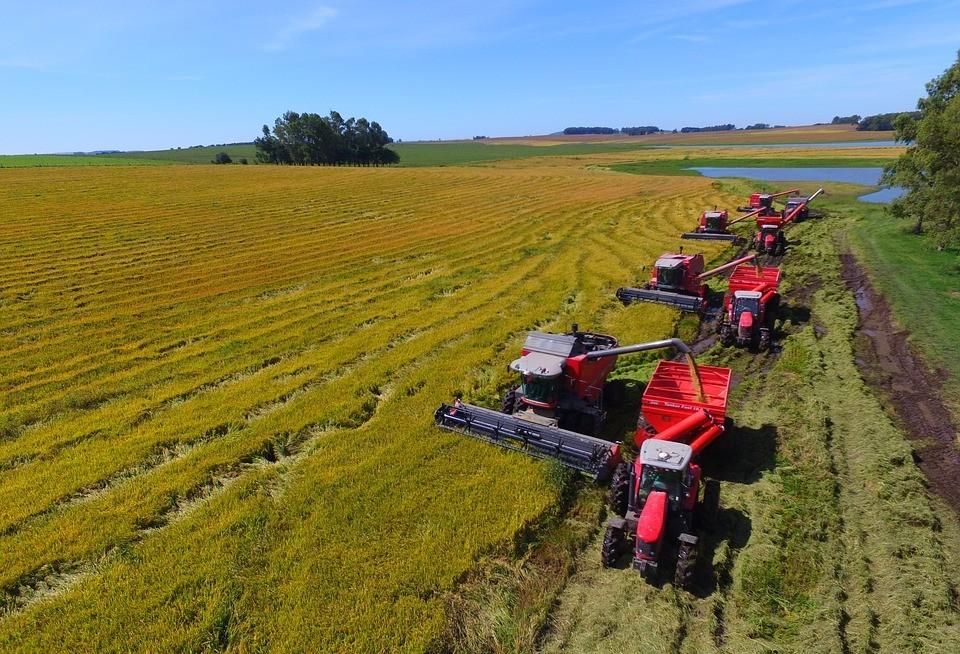 Colheita do arroz tem menor rendimento nesta safra