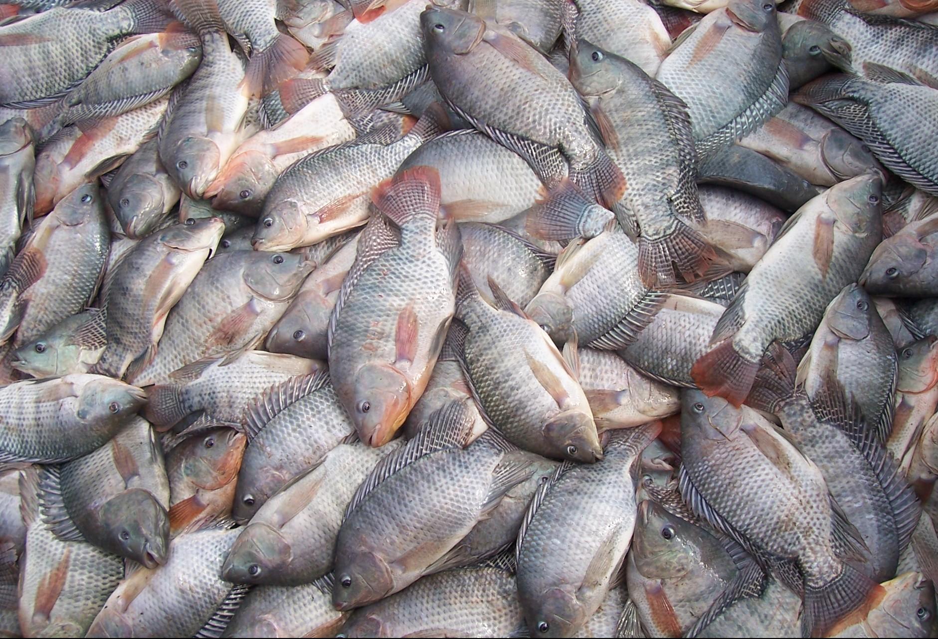 Brasil é o 4º maior produtor de tilápia do mundo