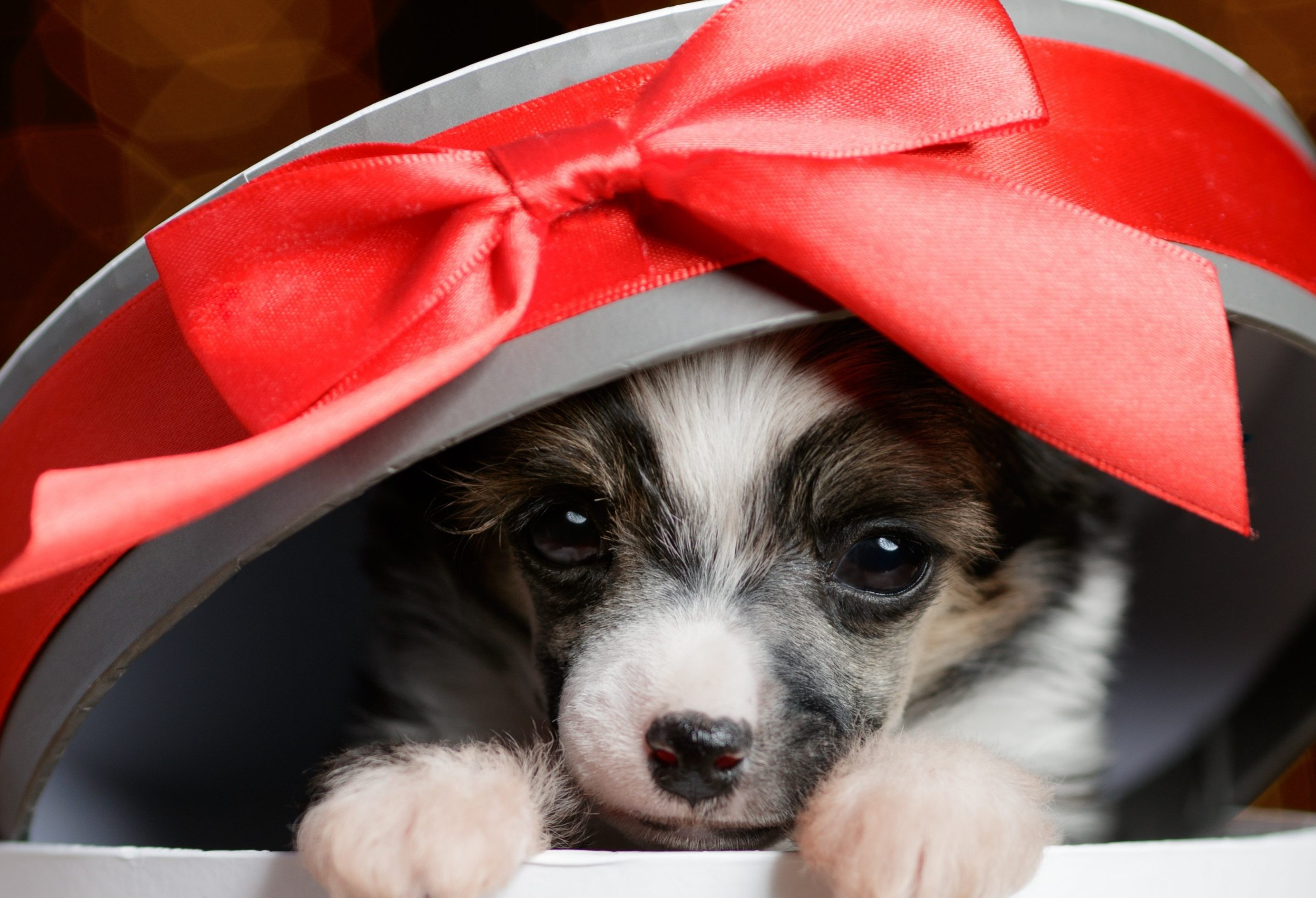 Filhotes como presente de Natal?