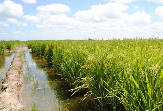 Área de plantio de arroz reduziu 38% nos últimos anos