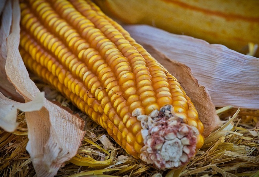 Brasil já é responsável por 25% das vendas mundiais de milho