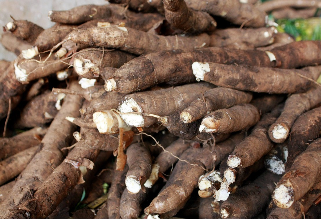 Raiz de mandioca custa R$ 480 a tonelada em Umuarama