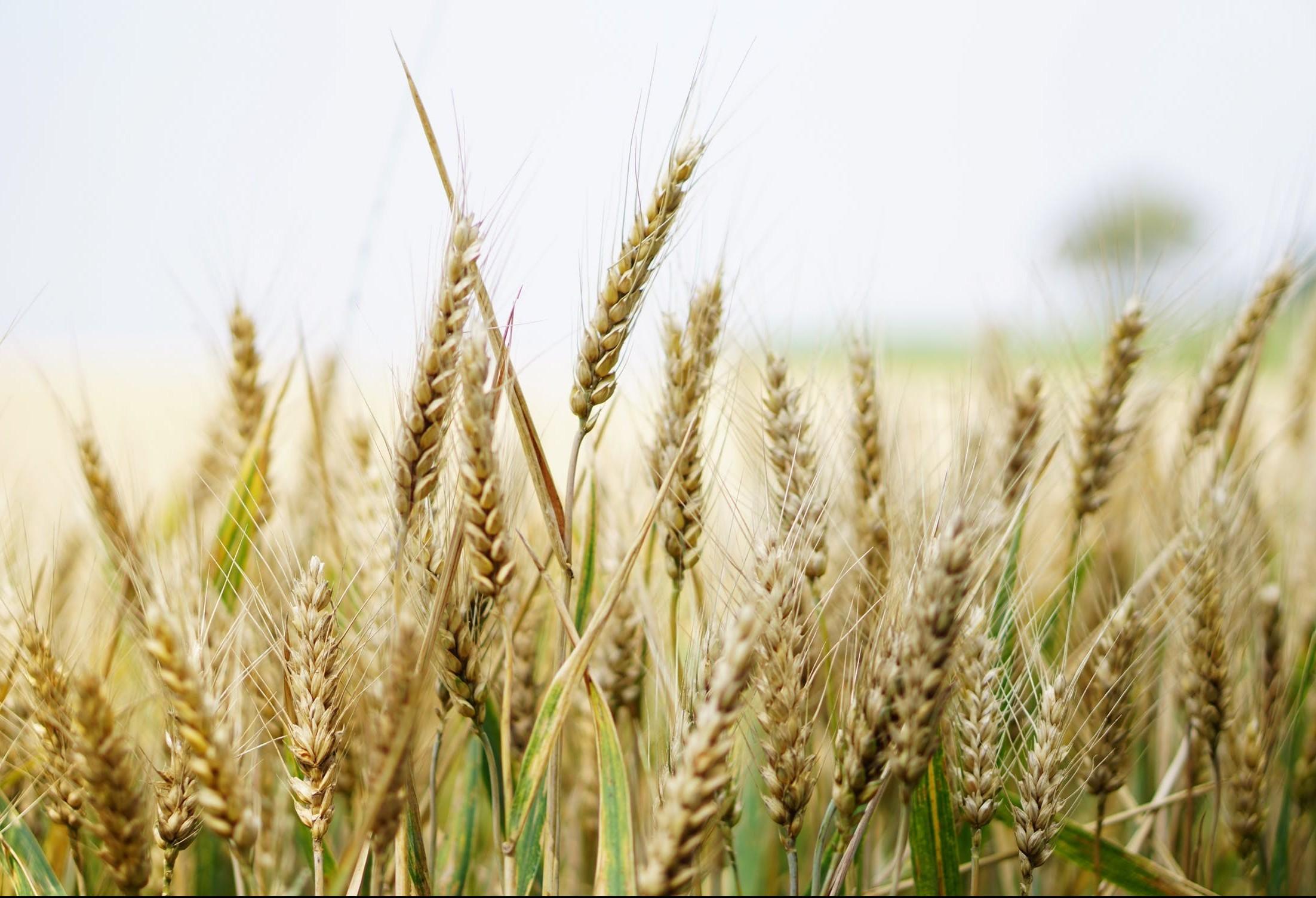 Plantio de trigo atinge nesta semana 91% da área estimada