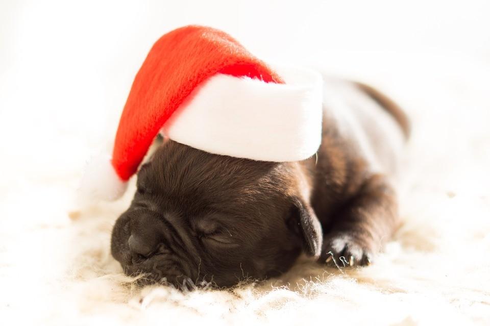 Pets podem ser um ótimo presente de Natal