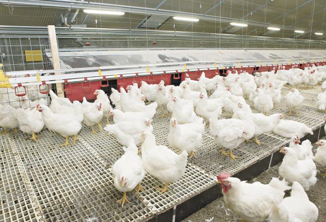 Exportação avícola para a China em maio é 110% superior ao mesmo mês de 2018