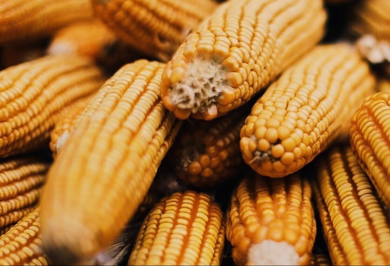 Saca do milho custa R$ 28,50 em Maringá
