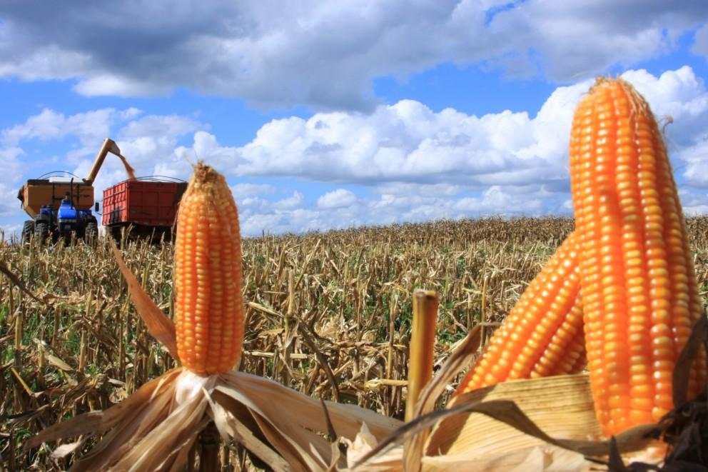 Preço da saca do milho caiu e custa R$ 29 em Maringá