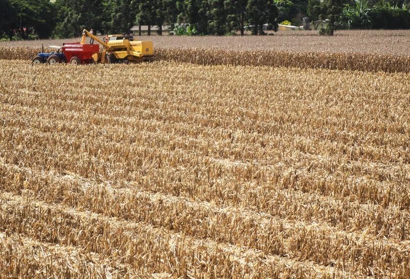 21% da área do milho segunda safra já estão colhidas