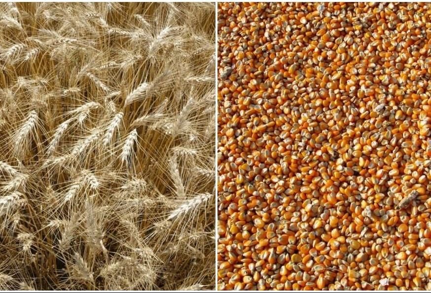 Produtor precisa escolher entre trigo ou milho para a próxima safra