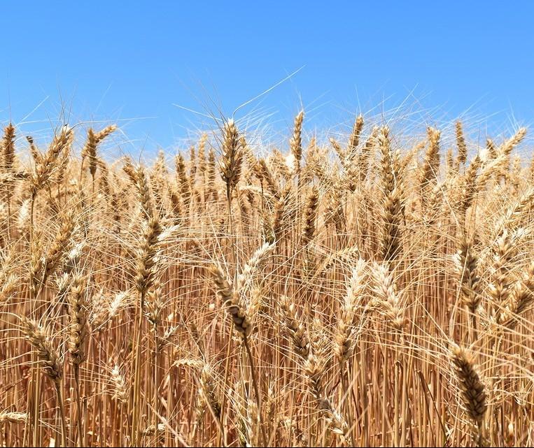 Tempo seco e temperaturas altas podem diminuir rendimento das lavouras de trigo no Paraná