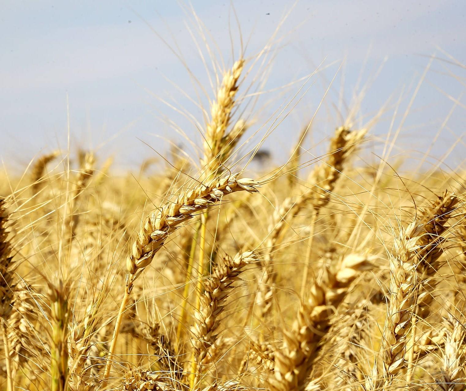 Colheita da safra de trigo atinge 2% da área estimada no Paraná