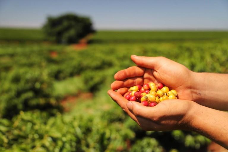 Produção paranaense café deve ter retração de 9%