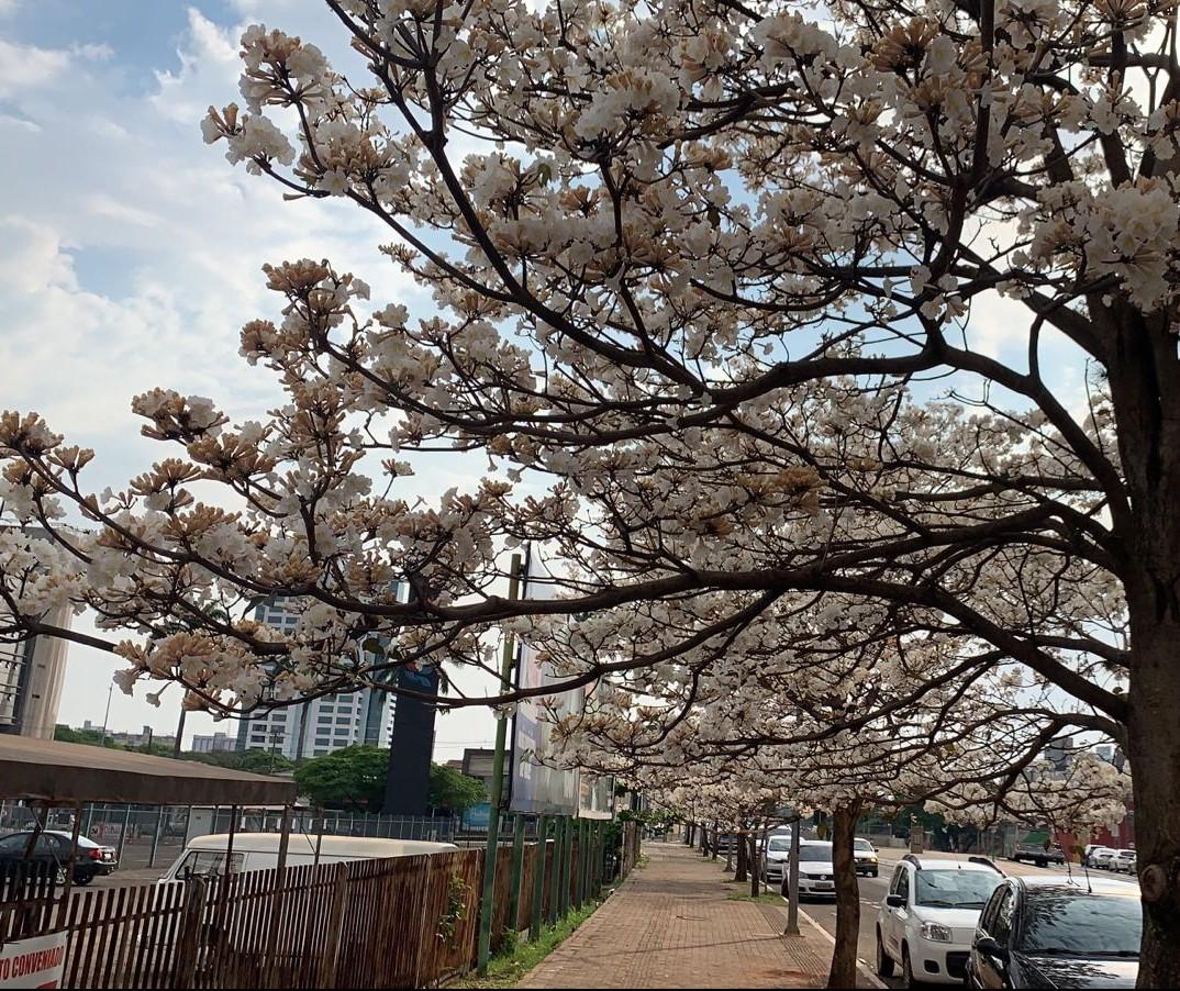 Florada dos ipês encanta moradores e deixa Maringá mais bonita