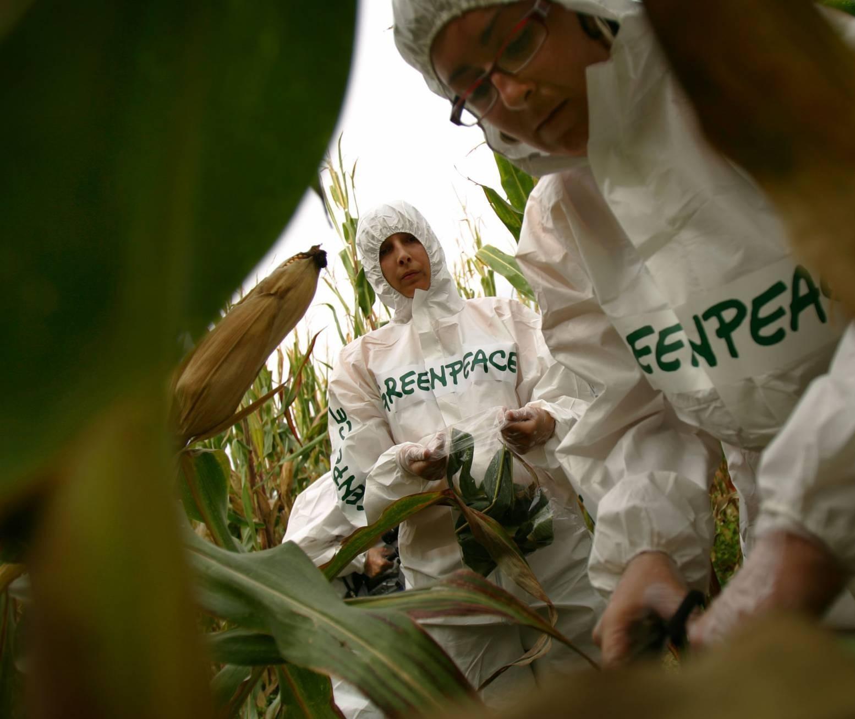 Greenpeace é acusado de cometer 'crime contra a humanidade' por atacar transgênicos