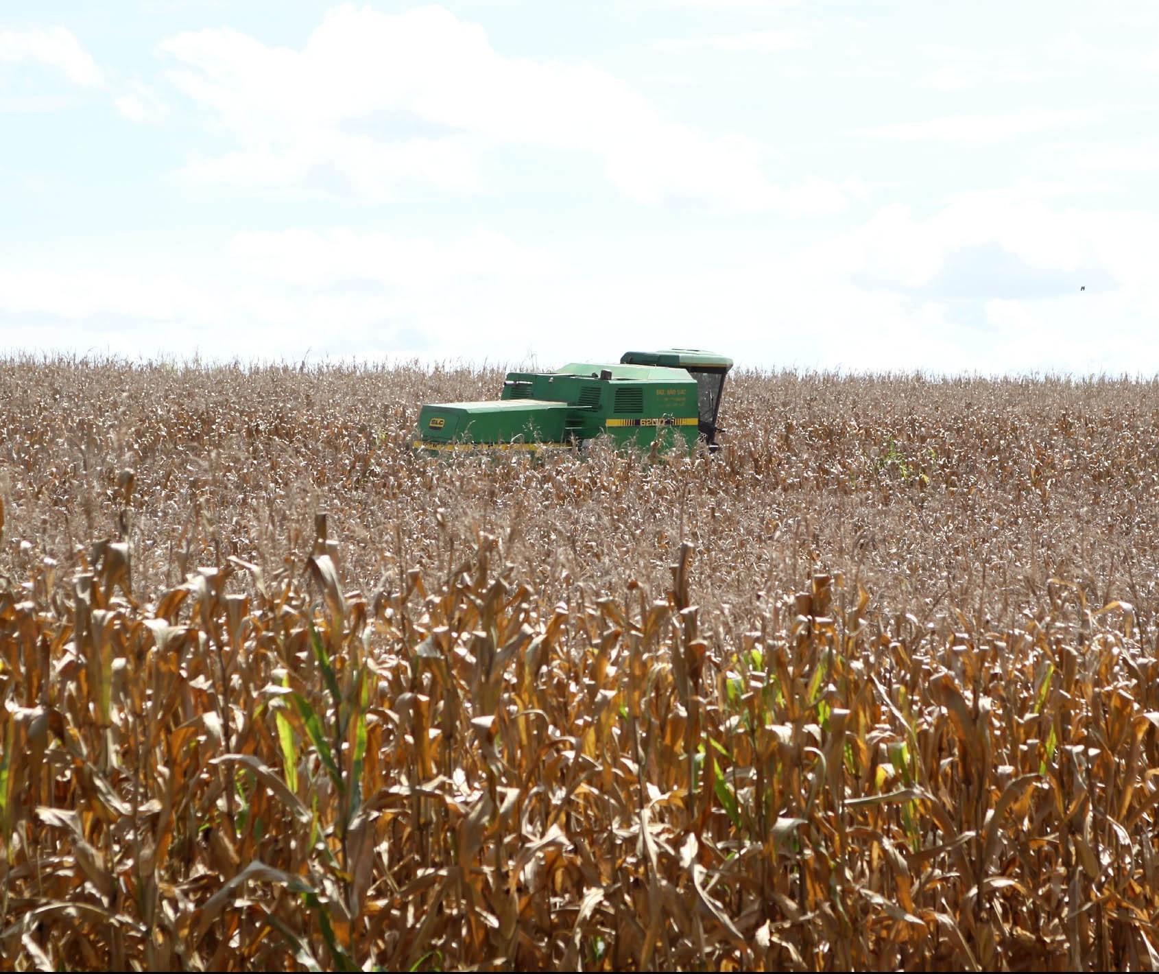 Em meio a seca, colheita de milho começa nos próximos dias
