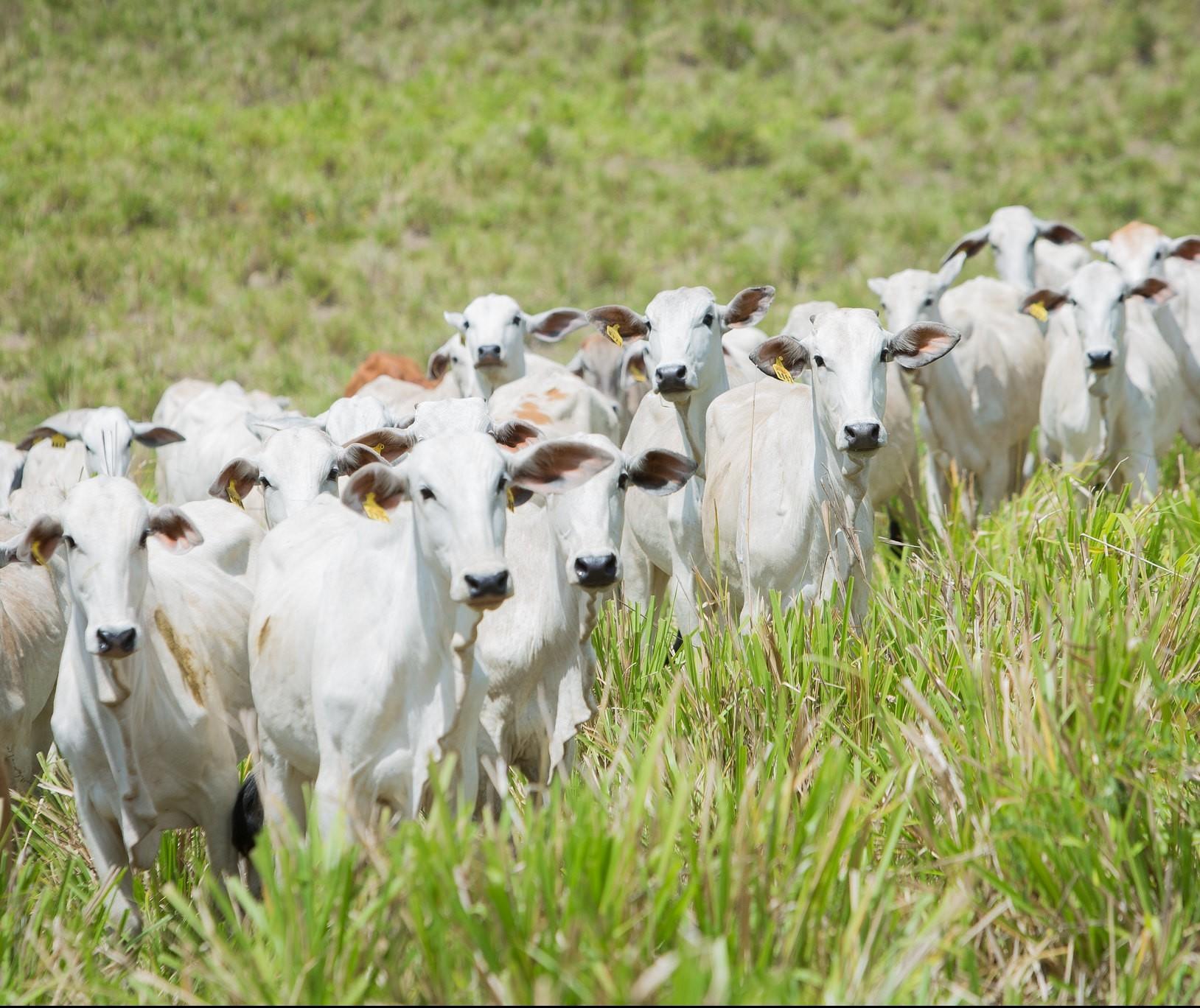 VBP da pecuária deve alcançar R$ 234,5 bilhões em 2019