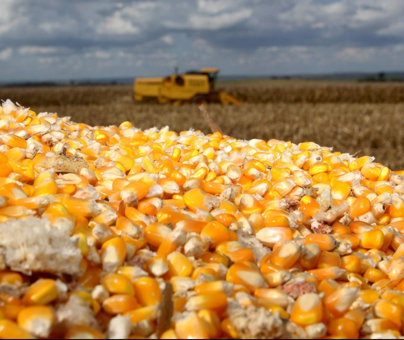 Estiagem preocupa produtores de milho safrinha