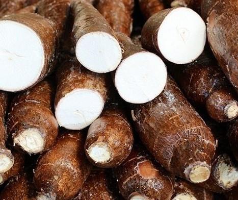 Raiz de mandioca custa R$ 360 a tonelada em Paranavaí