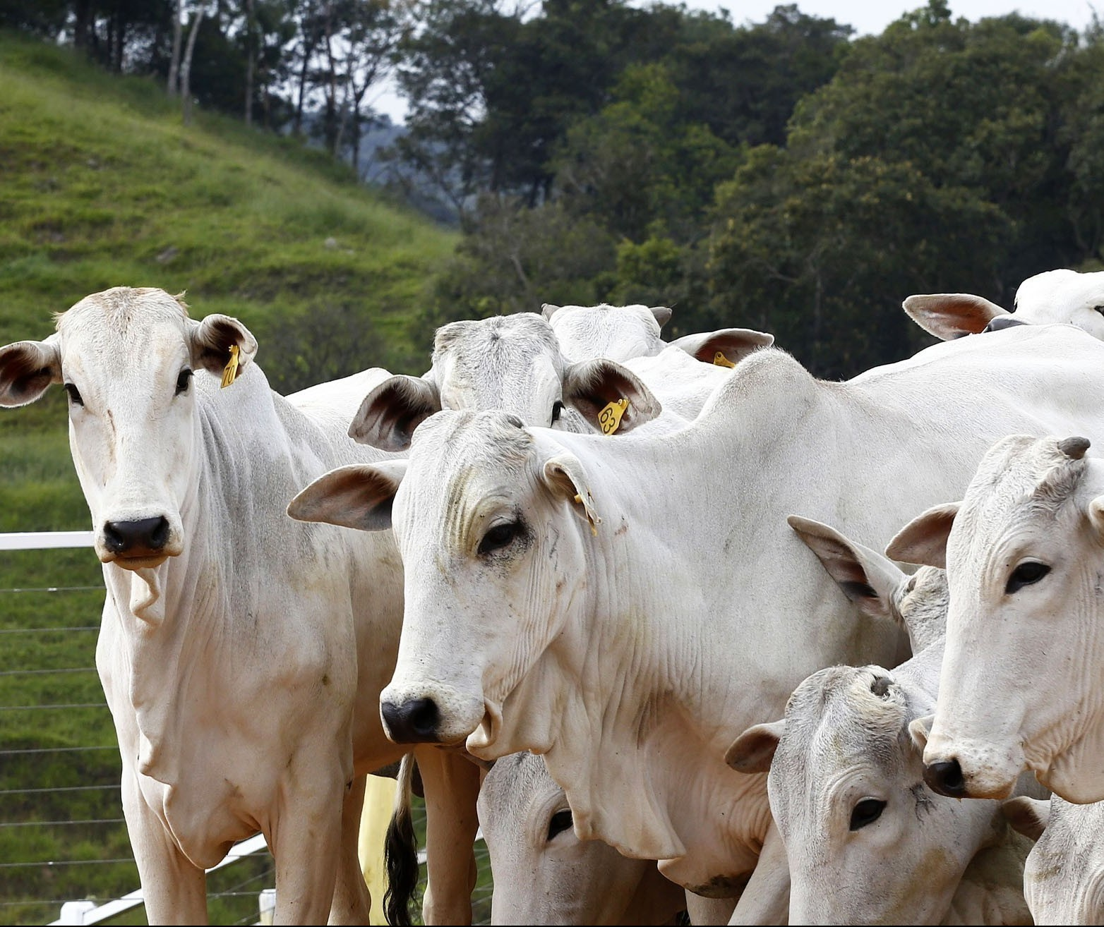 Boi gordo custa R$ 190 a arroba em Paranavaí