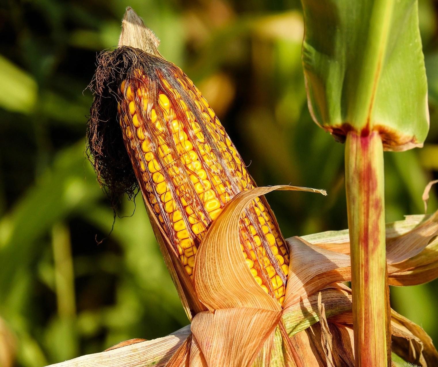 Deral indica que milho com boa qualidade no Paraná cai para 61%