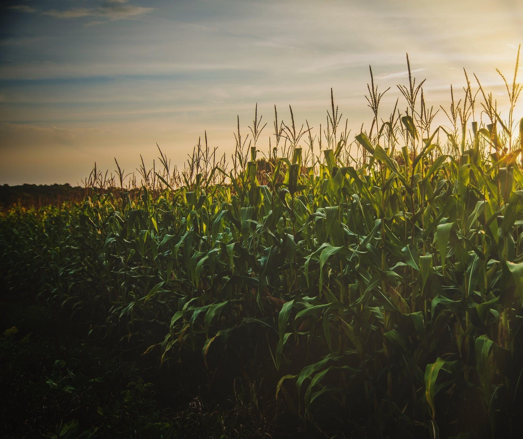 Etanol de milho para mitigar as emissões de gases de efeito estufa