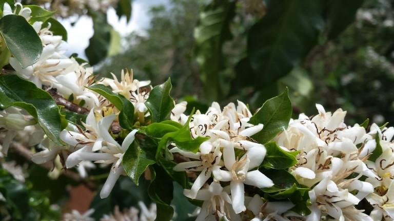 Florada do café está adiantada na região de Maringá
