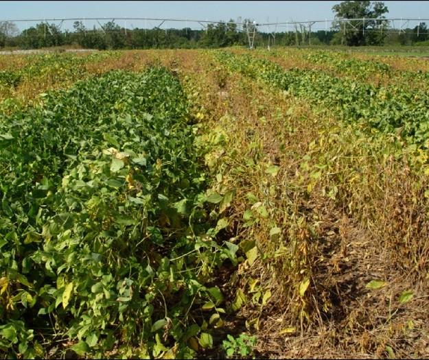 Ferrugem da soja preocupa agricultores