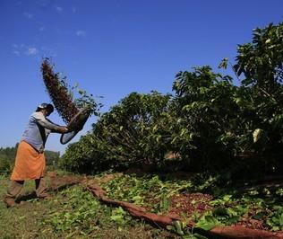 Redução na produção do café em fase final da colheita