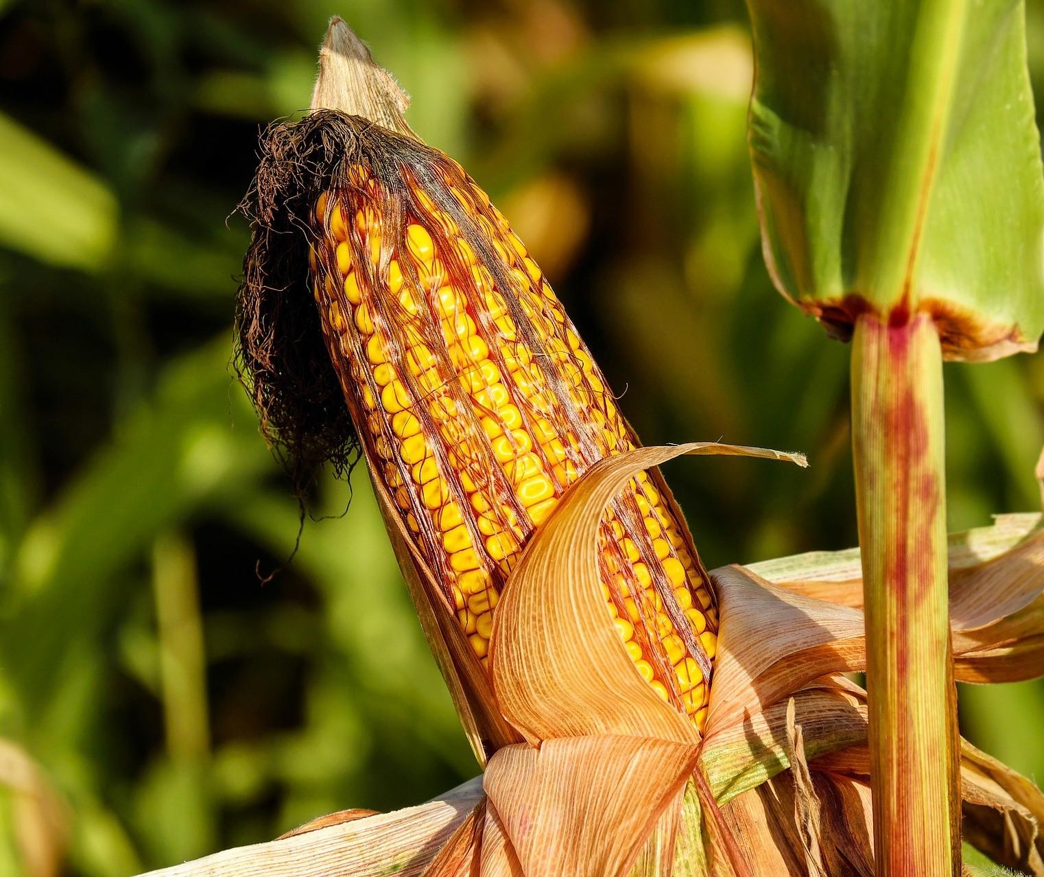 Colheita de milho 2ª safra avança pouco no Paraná; chuvas afetam algumas lavouras