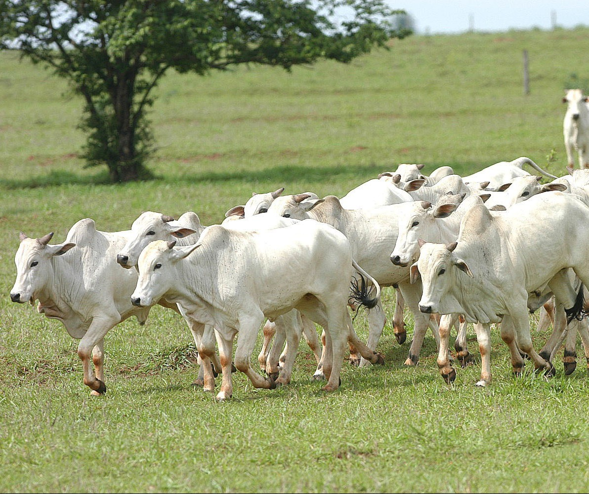 Mercado do boi gordo pode ser afetado pela Copa