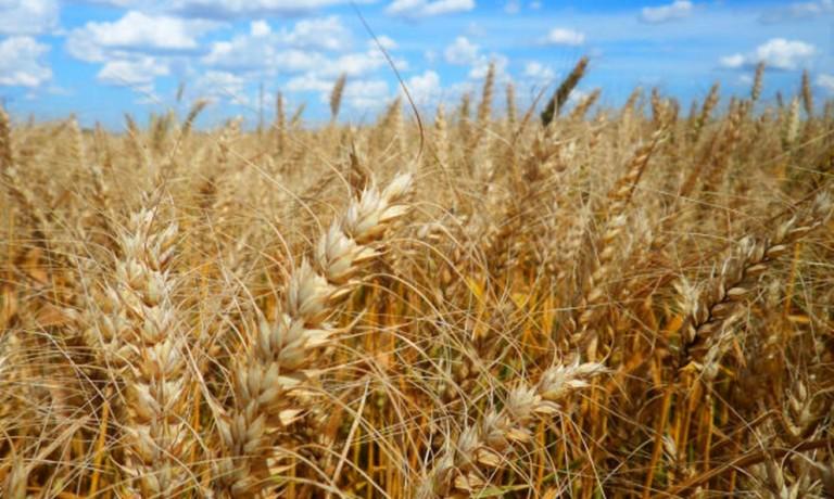 Preços podem fazer Paraná expandir produção de Trigo