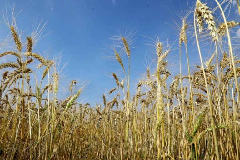 Com cotações históricas, saiba como aumentar a produtividade do trigo