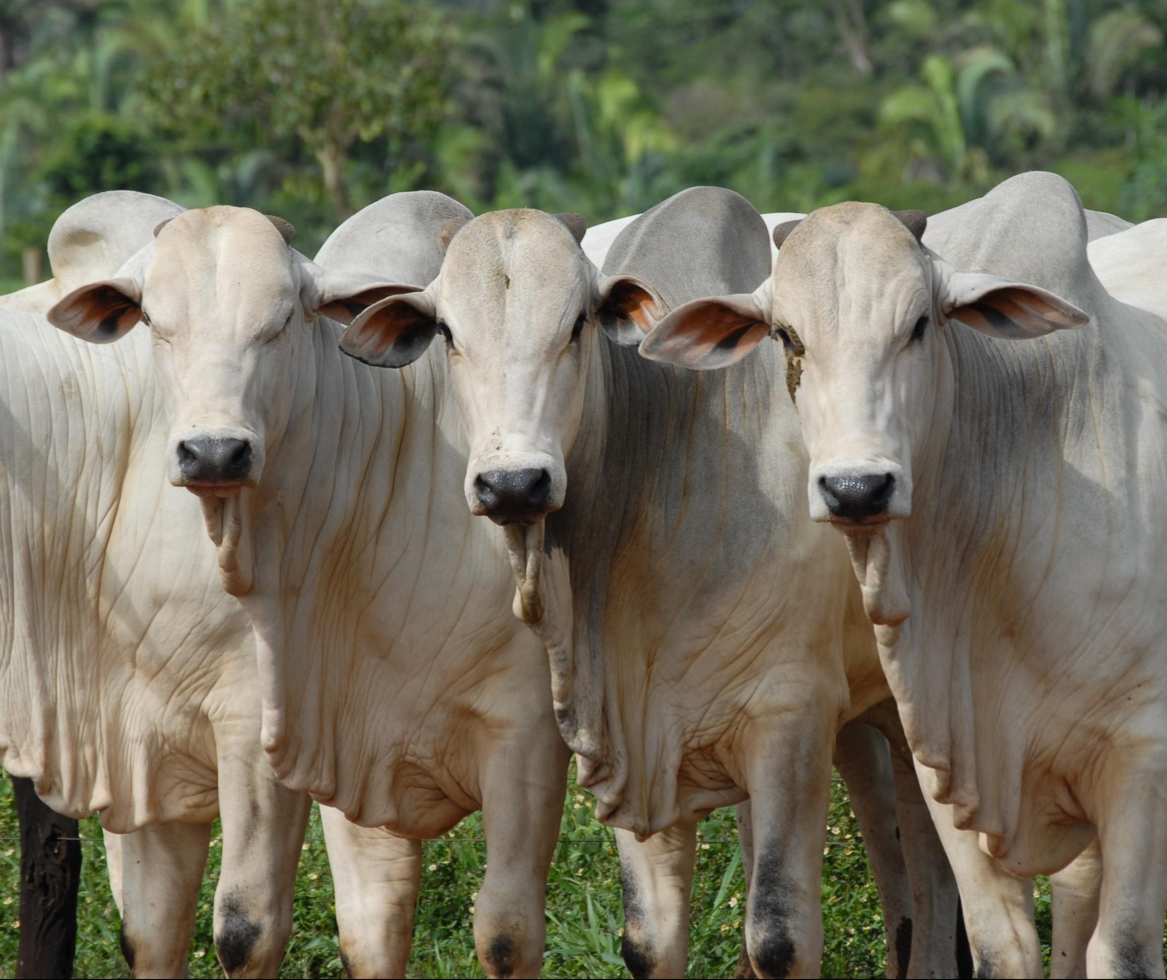 Foco de febre suína é confirmado no Ceará
