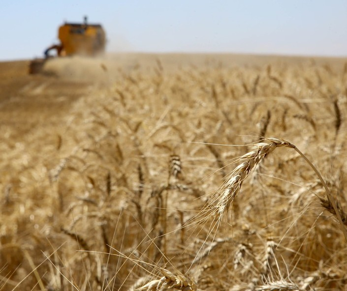 74% da área total de trigo já foi colhida no Paraná