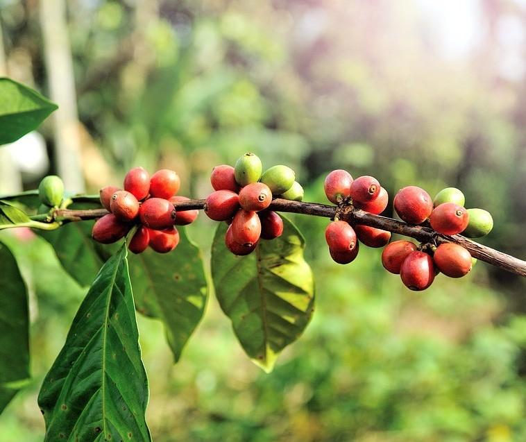 Faturamento do café exportado aumenta 7,2% em relação ao mesmo período de 2016