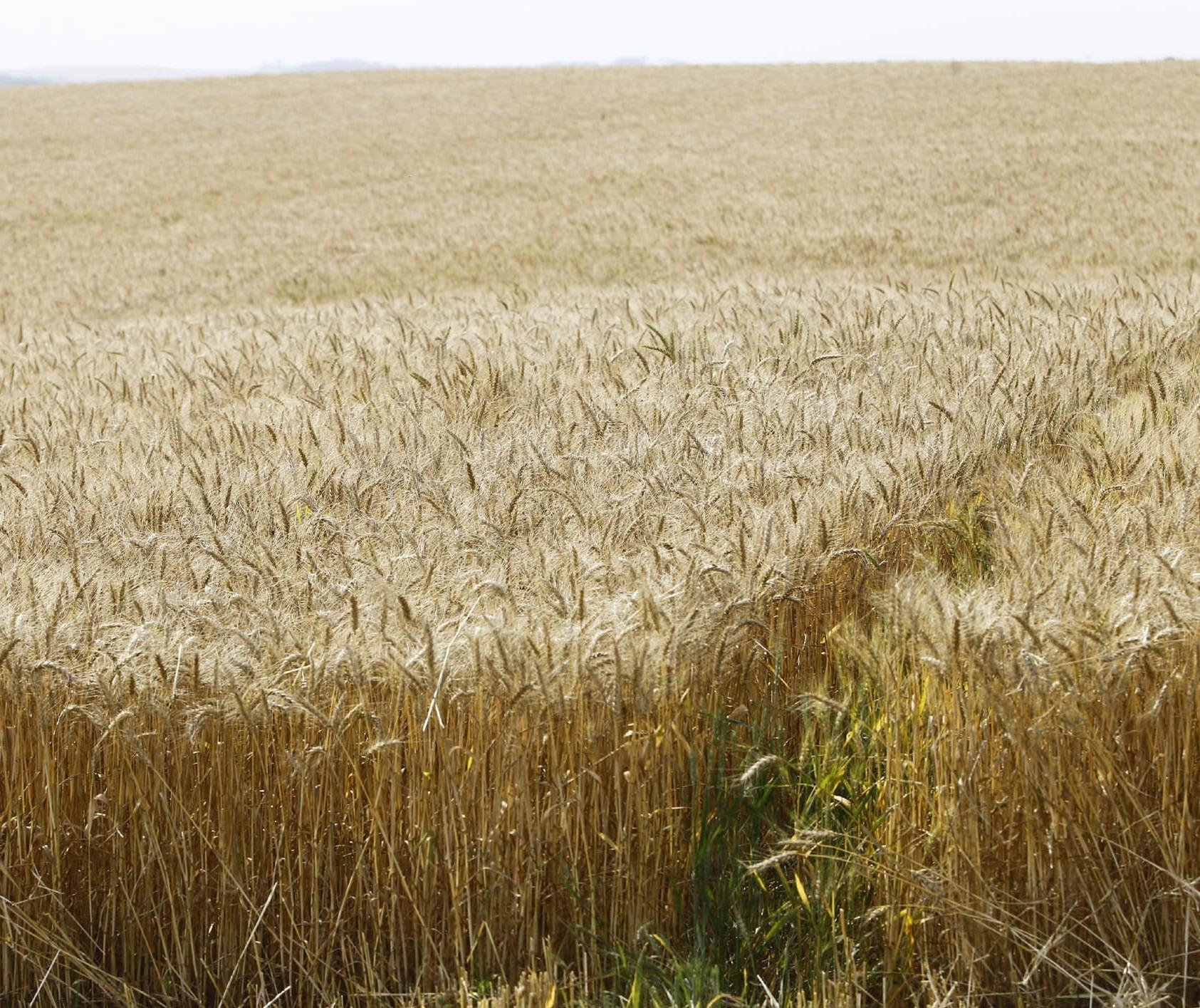 Mesmo com chuva, produtores não recuperam mais as lavouras de inverno