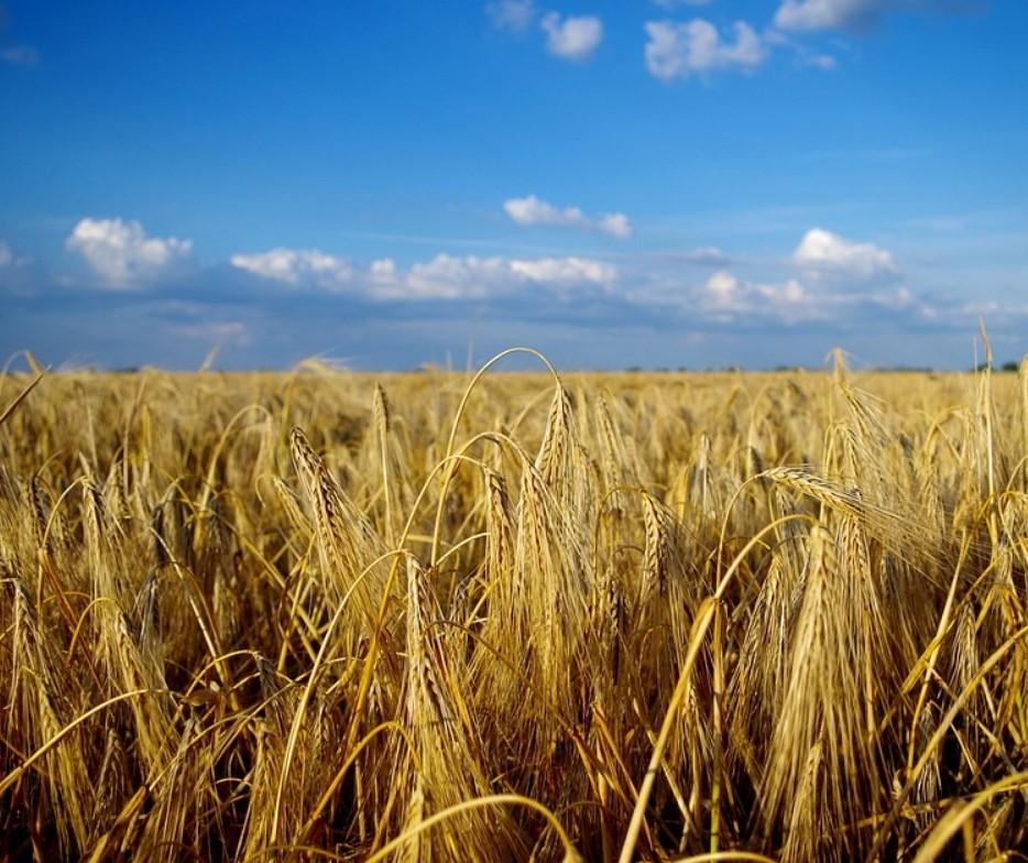 Paraná: preço médio da tonelada do trigo foi de R$ 881,47 entre janeiro e junho