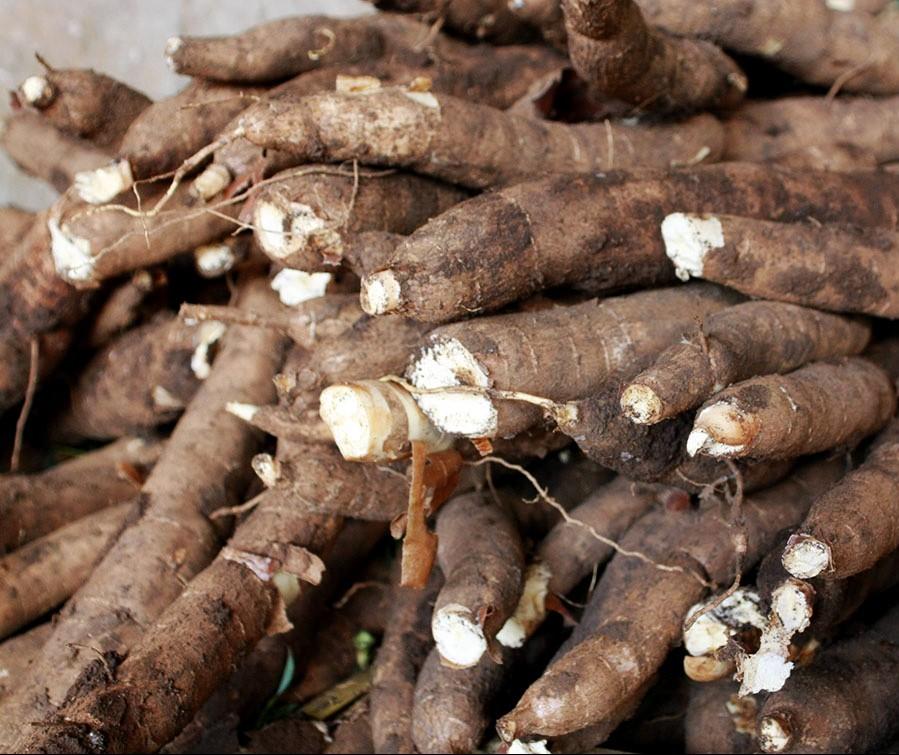 Ritmo da colheita de raízes de mandioca tem aumentado