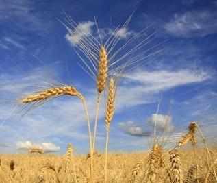Queda na cotação do trigo